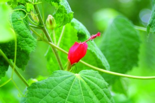edible plants - turks cap