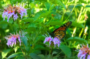 butterflywith horsemint