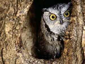 ScreechOw2l 300x225 Family Owl Prowl   this Saturday!