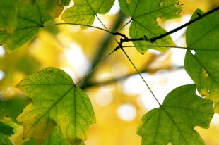YELLOW_MAPLE_LEAVES_CLOSEsmall
