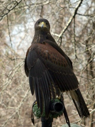 harris hawk on stand